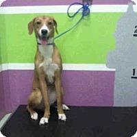 Adopt A Pet :: A1432693 - Houston, TX
