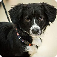 Adopt A Pet :: Puki - Hillside, IL