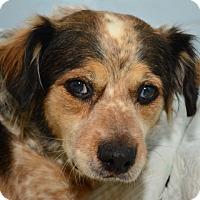 Adopt A Pet :: Mila - Tulsa, OK