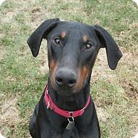 Adopt A Pet :: Zeus - Madison, WI