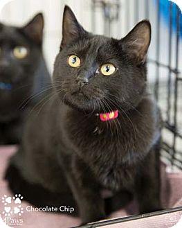 Domestic Shorthair Kitten for adoption in Merrifield, Virginia - Chocolate Chip