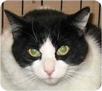 Domestic Shorthair Cat for adoption in Plainville, Massachusetts - Bandit