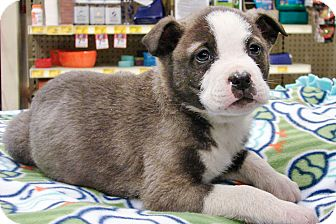 Akita Mix Puppy for adoption in Howell, Michigan - Jace