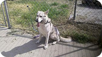 Husky Mix Dog for adoption in Yuba City, California - Thor
