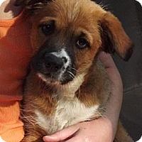 Adopt A Pet :: Gizmo - Brattleboro, VT