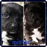 Adopt A Pet :: Mister - Bakersfield, CA
