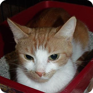 Domestic Shorthair Cat for adoption in Somerset, Kentucky - Zena