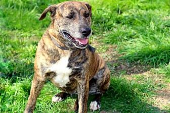 Labrador Retriever/Mountain Cur Mix Dog for adoption in Spring Valley, New York - ELLA MAY