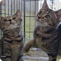 Adopt A Pet :: Lucus - Merrifield, VA