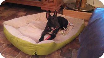Terrier (Unknown Type, Medium)/Miniature Pinscher Mix Dog for adoption in Nixa, Missouri - Shelley # 921 v