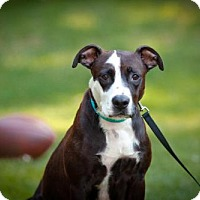 Adopt A Pet :: ShelleyMac - Alpharetta, GA