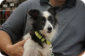 Papillon Mix Dog for adoption in Smithtown, New York - Scooter