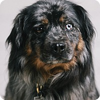 Adopt A Pet :: Fluffy - Portland, OR