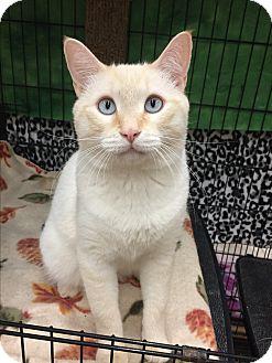 Siamese Cat for adoption in Blasdell, New York - Monty