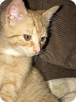 Domestic Shorthair Kitten for adoption in Whitehall, Pennsylvania - Buster