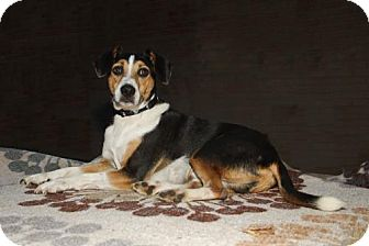 Beagle Mix Dog for adoption in Franklin, Tennessee - BARNEY FIFE