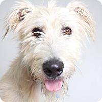 Irish Wolfhound Dog for adoption in Edina, Minnesota - Weston D161649: NO LONGER ACCEPTING APPLICATIONS