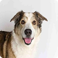 Adopt A Pet :: SHEBA - Murray, UT