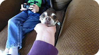 Miniature Pinscher/Chihuahua Mix Dog for adoption in Wyanet, Illinois - Noah