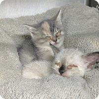 Adopt A Pet :: amy - Dickinson, TX
