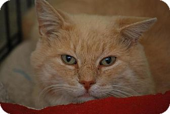 Polydactyl/Hemingway Cat for adoption in Bensalem, Pennsylvania - Sandy
