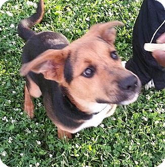 Shepherd (Unknown Type) Mix Puppy for adoption in Richmond, Virginia - TJ