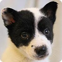 Adopt A Pet :: Linzer - Roosevelt, UT