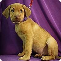Adopt A Pet :: Teenie Godiva - Broomfield, CO