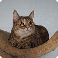 Domestic Shorthair Cat for adoption in Lebanon, Tennessee - Felicia (C14-011)