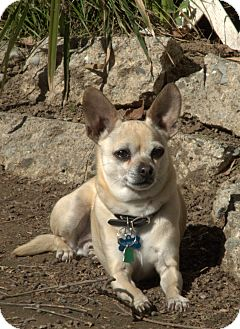 Chihuahua Mix Dog for adoption in Vacaville, California - Lucky