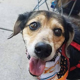 Beagle Mix Dog for adoption in Fairfax, Virginia - Holly