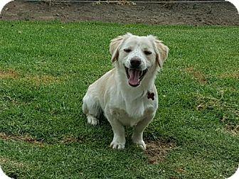 Dachshund Mix Dog for adoption in San Diego, California - Fluffy