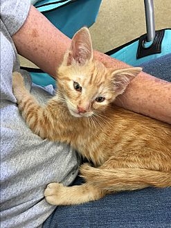 Domestic Shorthair Kitten for adoption in Long Beach, California - Daniel