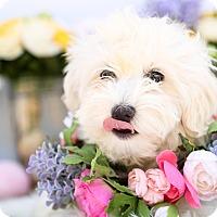 Adopt A Pet :: Katie - Auburn, CA