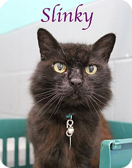 Domestic Longhair Cat for adoption in Bradenton, Florida - Slinky