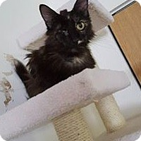 Domestic Longhair Cat for adoption in Huntley, Illinois - Jackie Sparrow