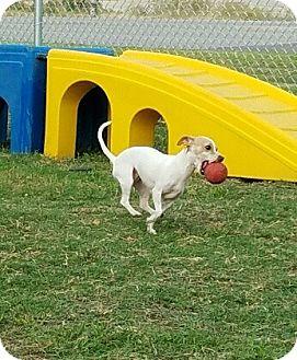 Chihuahua Mix Dog for adoption in Fort Worth, Texas - BONITA