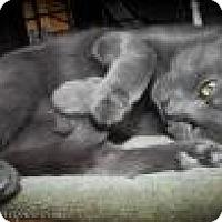 Domestic Shorthair Cat for adoption in Wellesley, Massachusetts - Maxwell