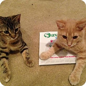 Domestic Shorthair Kitten for adoption in Phillipsburg, New Jersey - Lucy & Luke