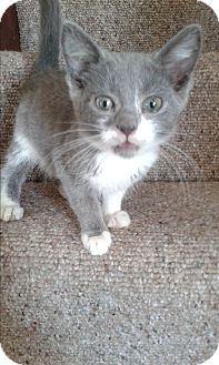 Domestic Shorthair Kitten for adoption in South Windsor, Connecticut - Delilah