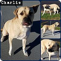 Adopt A Pet :: Charlie - Joliet, IL