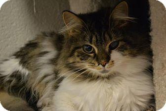 Domestic Longhair Cat for adoption in Akron, Ohio - Tota