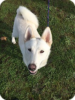 Siberian Husky Dog for adoption in Vancouver, Washington - Buddy