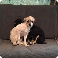 Adopt A Pet :: Atari - Lemoore, CA