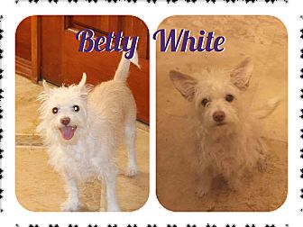 Cairn Terrier/Westie, West Highland White Terrier Mix Dog for adoption in Phoenix, Arizona - Betty White