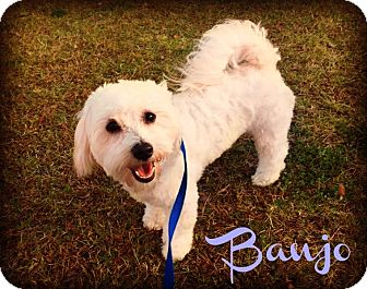 Bichon Frise/Poodle (Miniature) Mix Puppy for adoption in Phoenix, Arizona - BANJO
