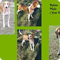 Adopt A Pet :: Baloo - Hammond, LA