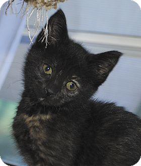 Domestic Shorthair Kitten for adoption in Middleton, Wisconsin - Liza