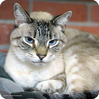 Domestic Shorthair Cat for adoption in Tucson, Arizona - Tsunami