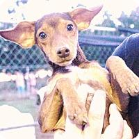 Adopt A Pet :: Tanzy #976 - Nixa, MO